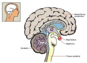 hipofisis-pituitaria_image001